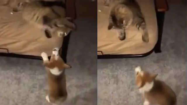 霸道猫咪不让柯基上床:欺负你腿短