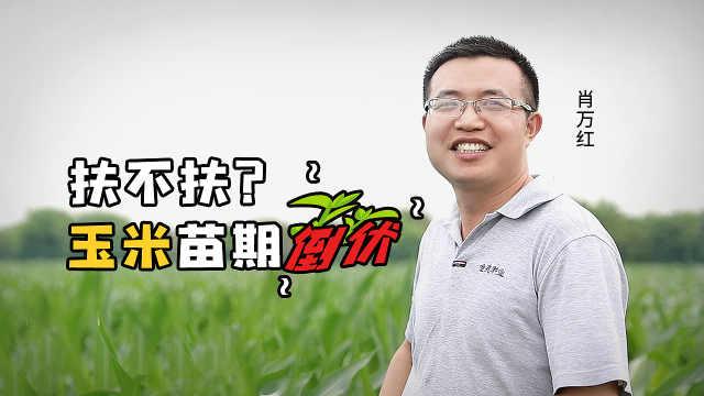 玉米苗期倒伏,到底扶不扶?