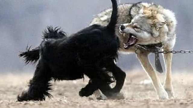 假如狗在狼群里长大,能变回狼吗?