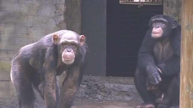 大龄黑猩猩都脱单了!你还单着吗?