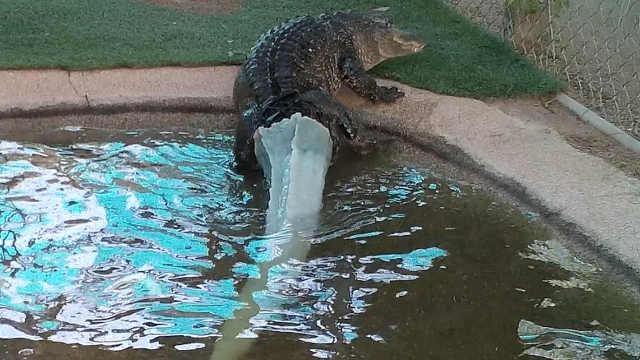 3D打印助失去尾巴的短吻鳄重获新生