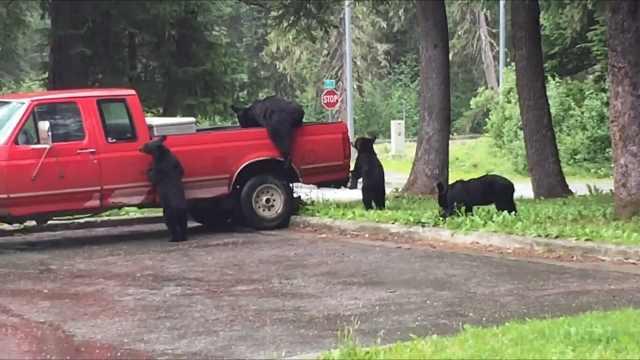 一群黑熊爬上卡车,两女子全程惊呼