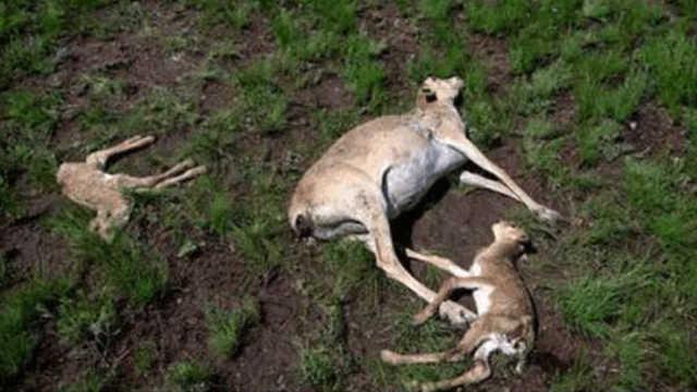 20多万只高鼻羚羊怎么会突然死亡?