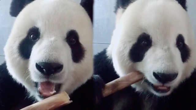 围观可爱熊猫啃竹子,看它!都害羞啦