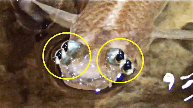 有四只眼?5种最奇特的动物里有它