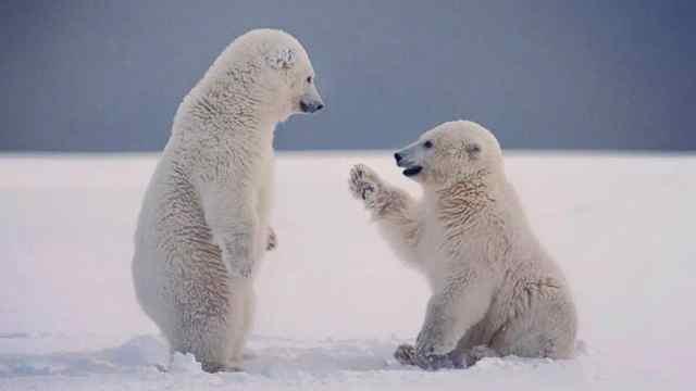 怎么回事,北极熊竟然不是白色?!