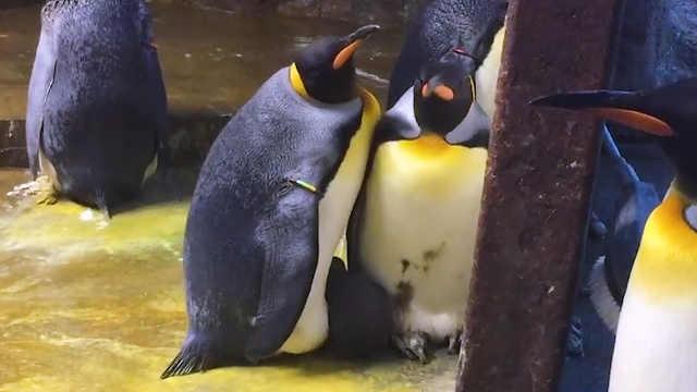 """同性企鹅情侣""""绑架""""企鹅宝宝"""