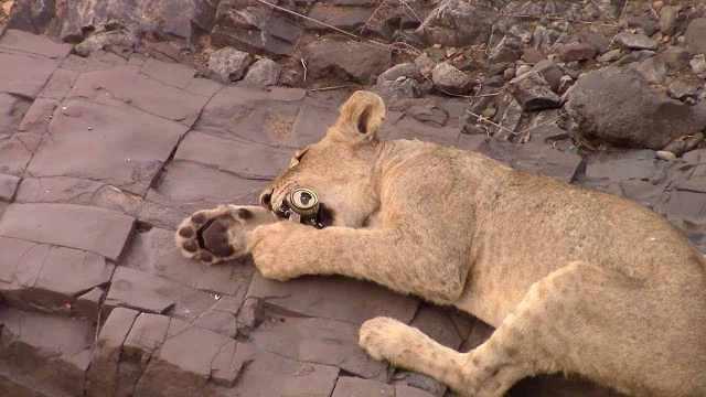 狮子猛喝游客剩下的啤酒,只想买醉