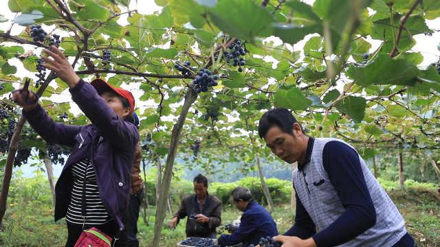 农村夫妻卖葡萄将儿子培养成博士