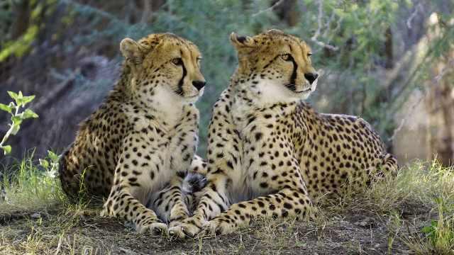 草原动物科普小百科之猎豹