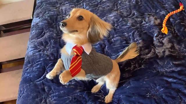 哈迷主人用魔法咒语训练狗狗