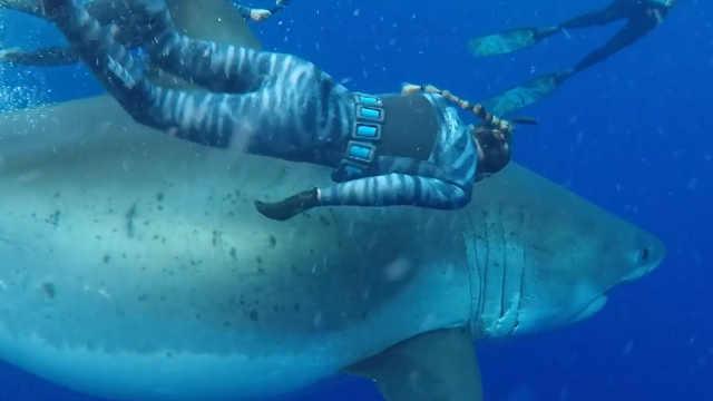 世界最大大白鯊重現夏威夷