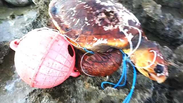 痛心!海龟被海洋垃圾勒到面目全非