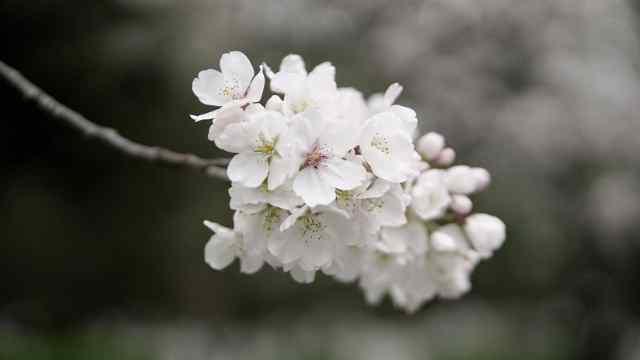 南林樱花开了,惊艳了世界!