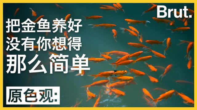 想把金鱼养好其实没那么简单