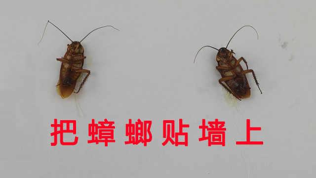 把蟑螂挂在墙上到底能活多久?