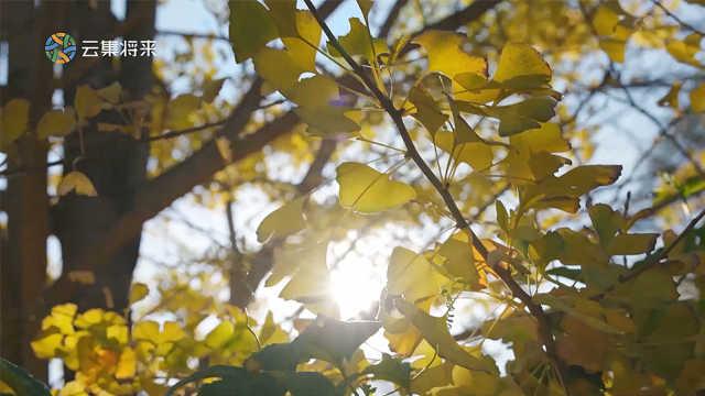 最美银杏园,仿佛走入了金色的梦境