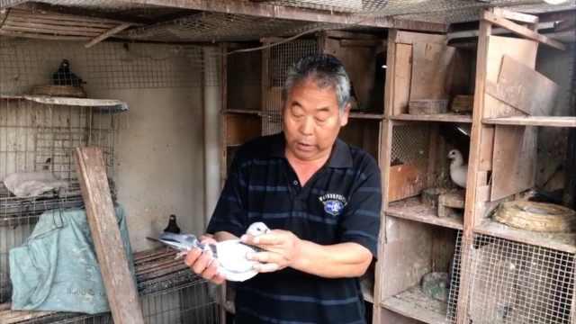 老人9岁养鸽养了60年:老了有个伴
