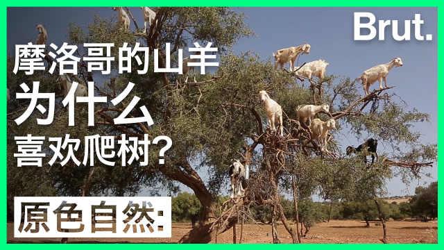 摩洛哥山羊爬树:关乎百万人生计?