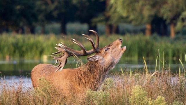 回乡30年,大丰麋鹿放归自然