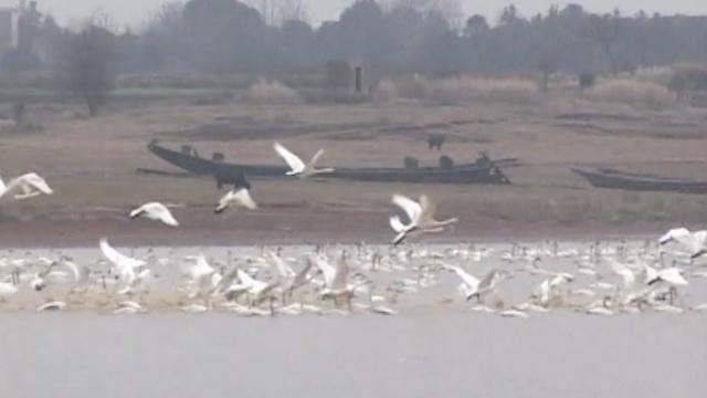 40万只候鸟鄱阳湖过冬,场面壮观