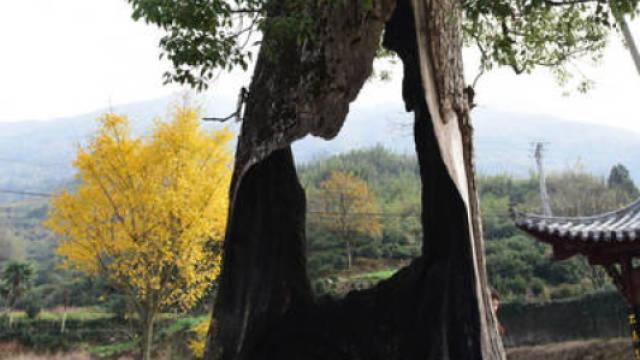 """树坚强!婺源这棵""""空心树""""300岁"""
