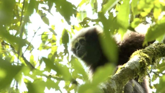 我国首次命名长臂猿,它能预报天气!