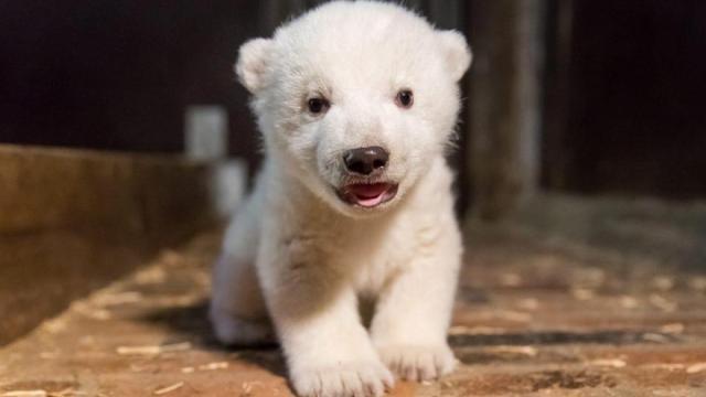 这个柏林动物园诞生一只北极熊宝宝