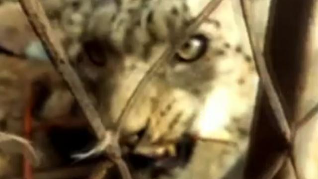 偷袭羊群的雪豹,因吃得太饱被抓了