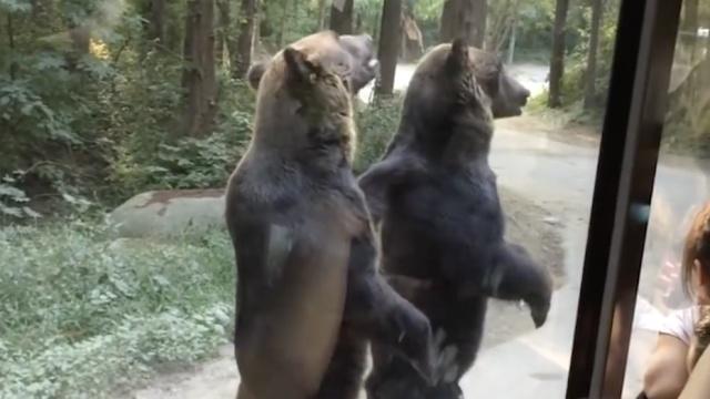 为吃投食,这群狗熊已可以直立行走