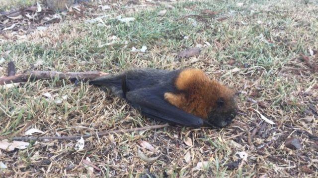 澳洲持续高温,数百只蝙蝠变干尸
