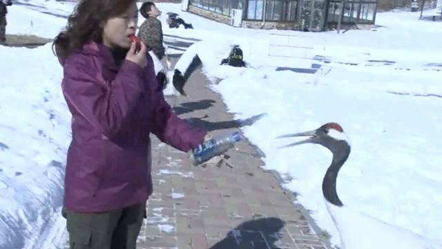 她用口哨与鹤交谈,常寻找迷途小鹤