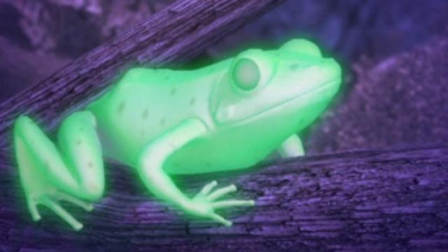 阿根廷科学家发现罕见荧光青蛙