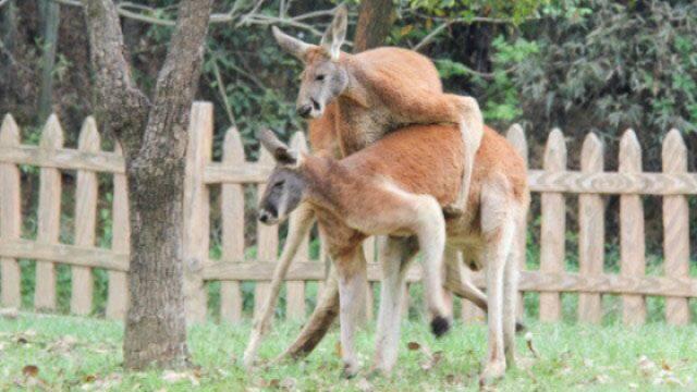 杭州动物园里袋鼠打架