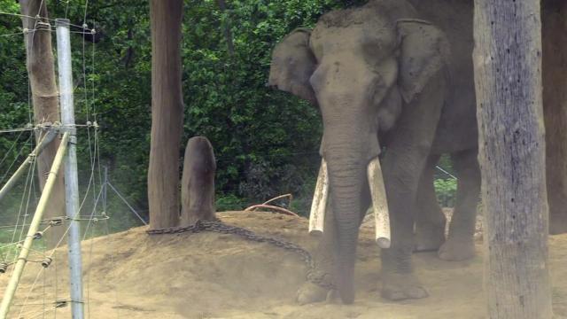 奇特旺骑大象,残忍虐待大象