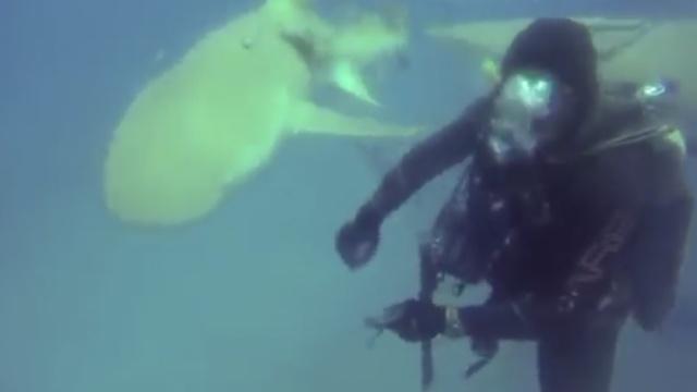 鲨鱼求助潜水员,去掉肚子上的鱼钩