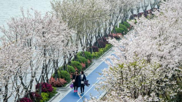 美爆!杭州最美跑道变身樱花大道