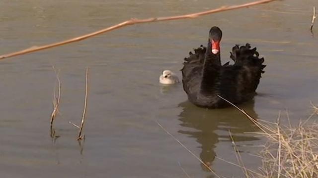 新疆首次诞下6小黑天鹅,萌翻众人