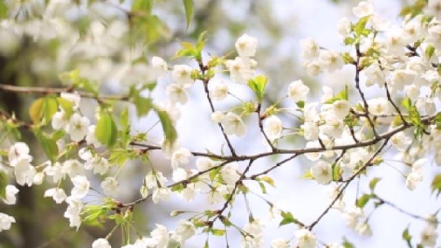 青岛中山公园迎来最美樱花季