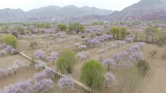 航拍:万亩杏花竞相绽放,如诗般的美