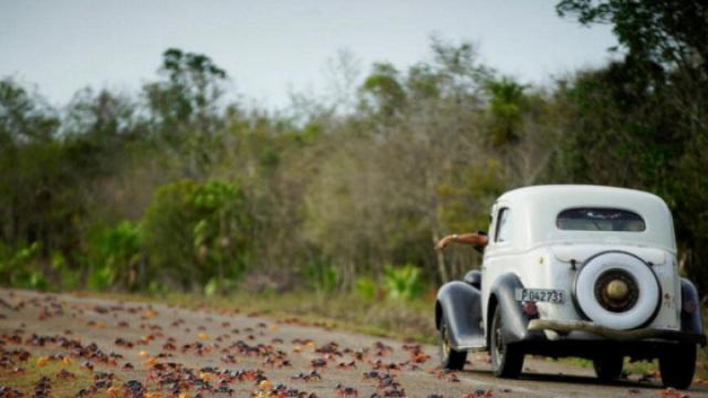 古巴百万螃蟹横行