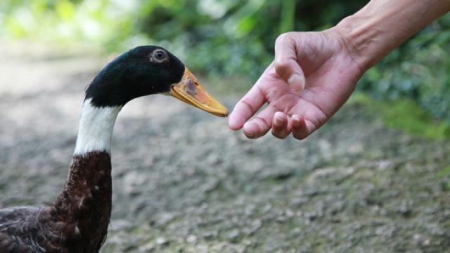 大伯把鸭子当宠物养,简直萌翻了