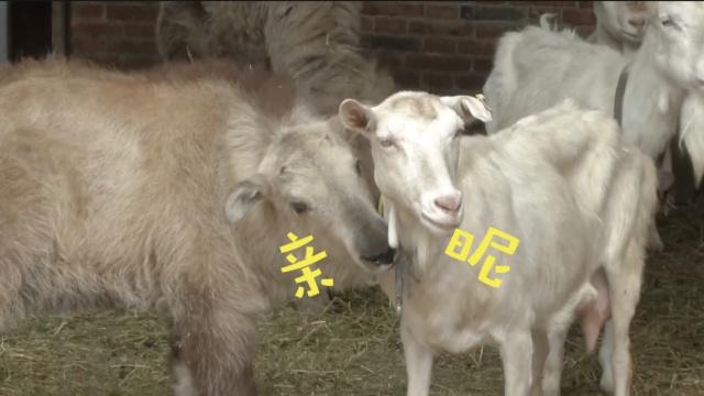 羊吃猪奶视频_萌!小羚牛和骆驼为争羊宠抢奶吃_蓝莓泡芙-梨视频官网-Pear Video