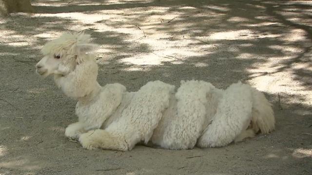 羊驼剪毛过夏,这些造型个个萌化人