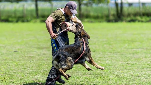 犬语者:训军警犬,得有点小变态