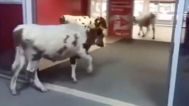 奶牛闯进超市,路人淡定经过