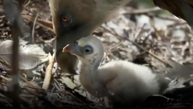 动物也会同性恋:两只雄鹰抚养雏鸟