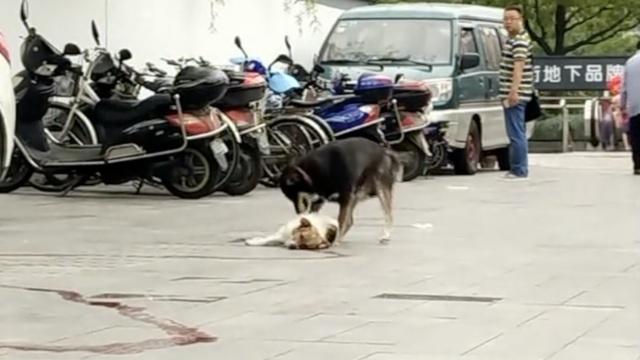 小狗欲唤醒被撞同伴,拍打拖拽守候
