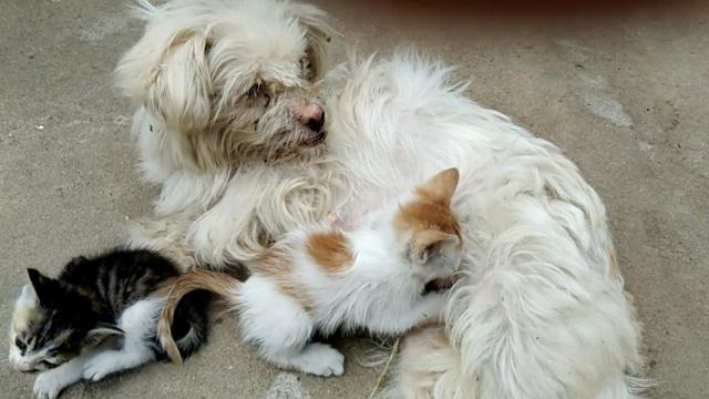 猫狗一家亲!狗妈妈给猫儿子喂奶