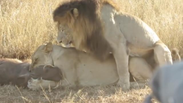 被骂了吧,雄狮不帮老婆捕猎还捣乱